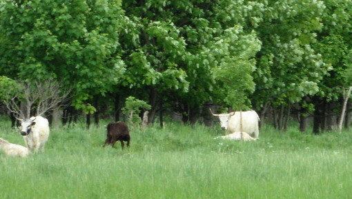 Rinder bei den Karower Teichen © visit pankow!